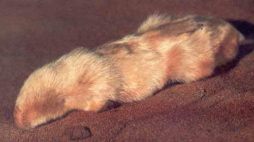 Marsupial mole Northern marsupial mole Characteristics Habitat amp Breeding
