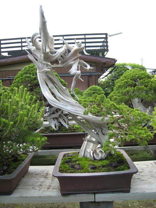 Masahiko Kimura (bonsai artist) Masahiko Kimura Beautiful Bonsai Pinterest Bonsai Gardens and