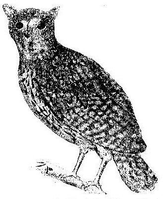 Mascarene owls httpsuploadwikimediaorgwikipediacommons00