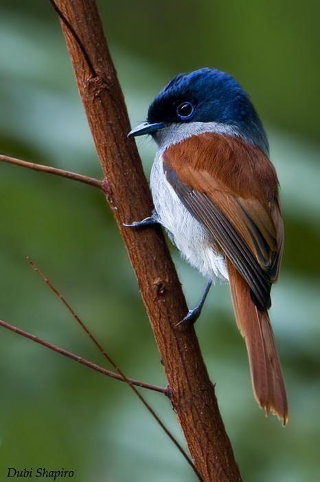 Mascarene paradise flycatcher httpssmediacacheak0pinimgcomoriginalsf0