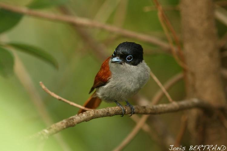 Mascarene paradise flycatcher Mascarene Paradiseflycatcher Terpsiphone bourbonnensis Mascarene