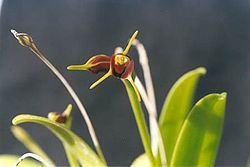 Masdevallia bicolor httpsuploadwikimediaorgwikipediacommonsthu