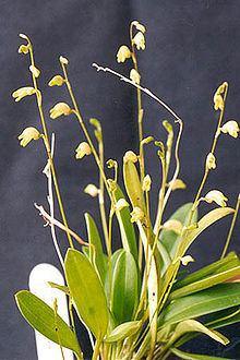 Masdevallia bulbophyllopsis httpsuploadwikimediaorgwikipediacommonsthu