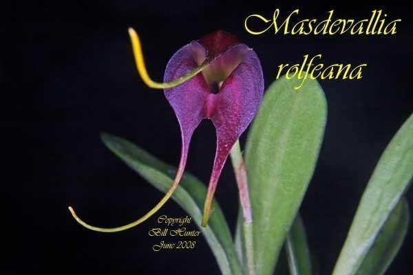 Masdevallia rolfeana wwwspeciesspecificcomimgsMasdevallia20rolfea
