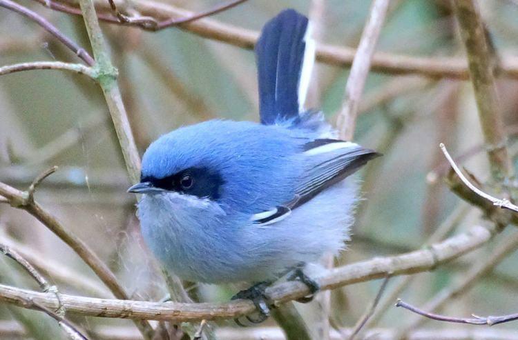 Masked gnatcatcher Tacuarita Azul Masked Gnatcatcher Polioptila dumicola Flickr