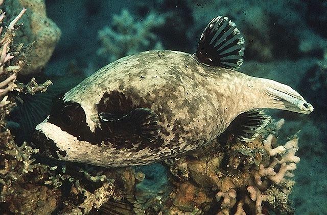 Masked puffer masked pufferfish Arothron diadematus FactSheet