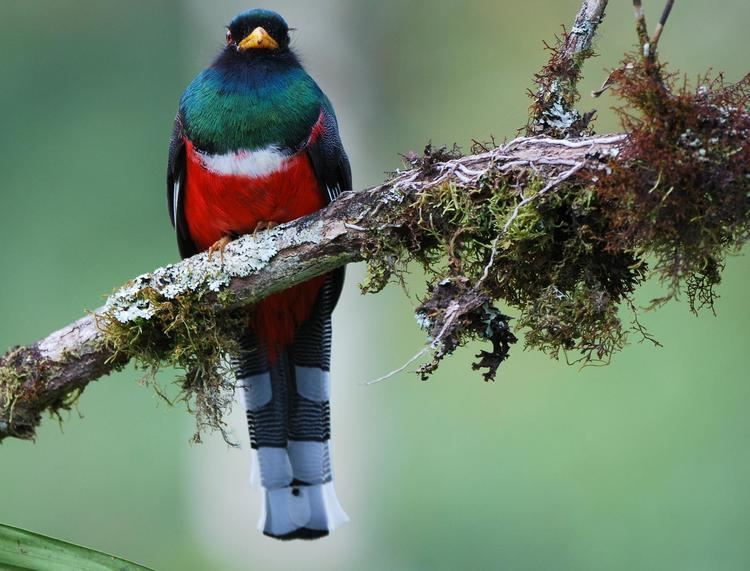 Masked trogon Masked Trogon Trogon personatus A male on a branch the Internet