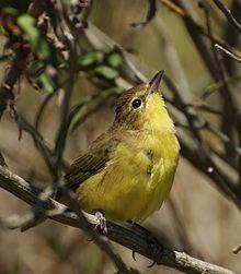 Masked yellowthroat httpsuploadwikimediaorgwikipediacommonsthu