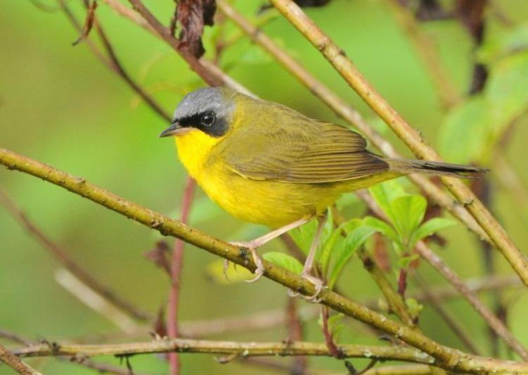 Masked yellowthroat Masked Yellowthroat Geothlypis aequinoctialis A bird perching on