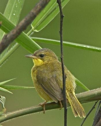 Masked yellowthroat Masked Yellowthroat BirdForum Opus
