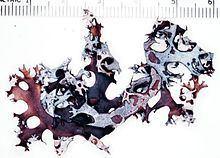Masonhalea httpsuploadwikimediaorgwikipediacommonsthu