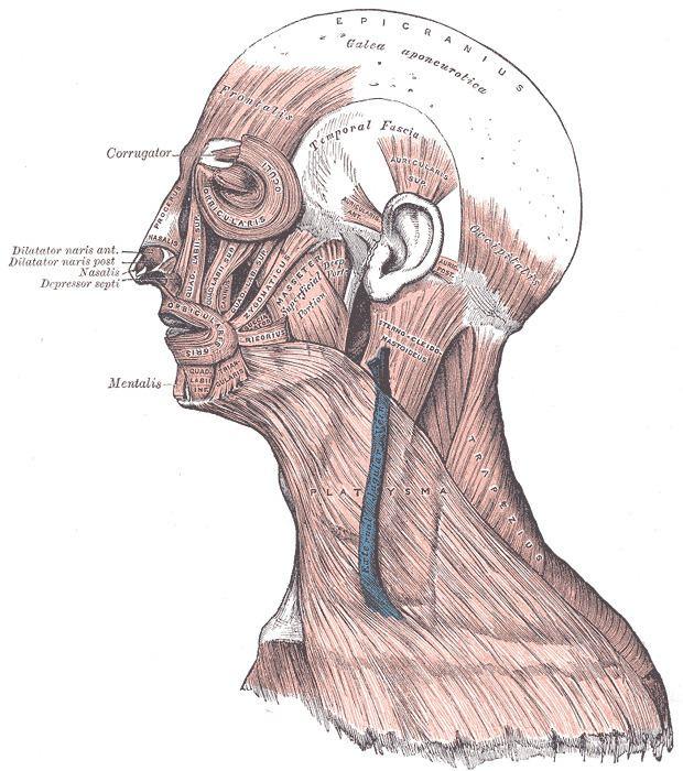 Masseteric fascia