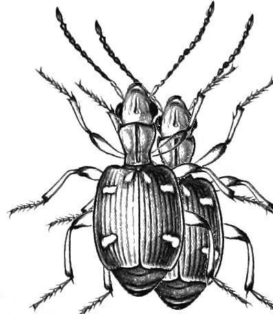 Mastax ornatella
