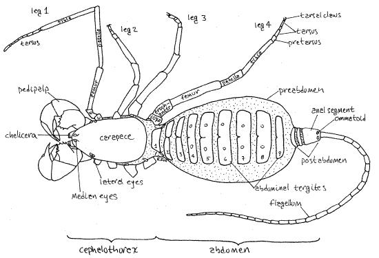 Mastigoproctus Mastigoproctus giganteus Caresheet