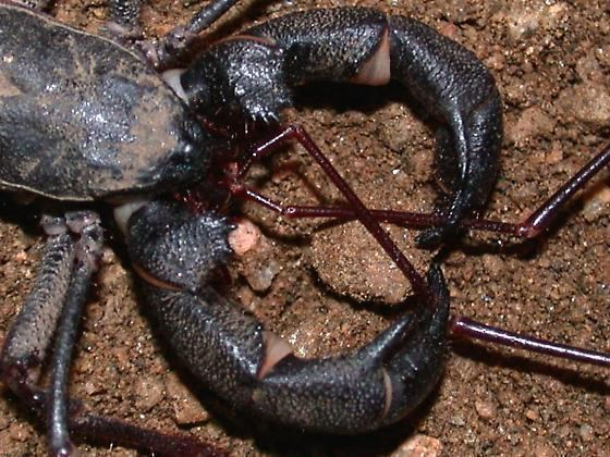 Mastigoproctus Mastigoproctus giganteus mating 2 Mastigoproctus giganteus