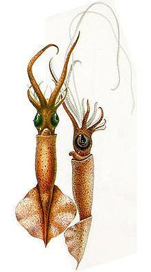 Mastigoteuthis glaukopis httpsuploadwikimediaorgwikipediacommonsthu