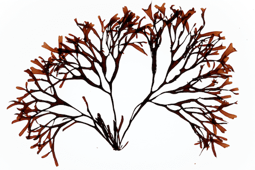 Mastocarpus stellatus wwwseaweedieimagesDSC2358png