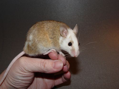 Mastomys Natal Multimammate Mouse Mastomys natalensis iNaturalistorg