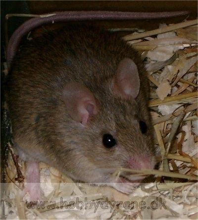 Mastomys Mastomys natalensis African softfurred rat Praomys natalensis