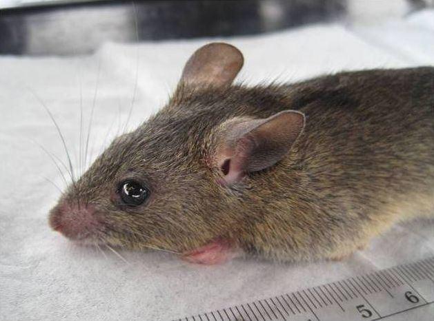 Mastomys Natal multimammate mouse Wikipedia