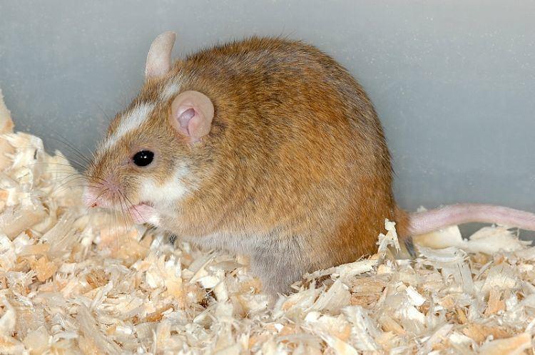 Mastomys Image Mastomys coucha Southern Multimammate Mouse BioLibcz