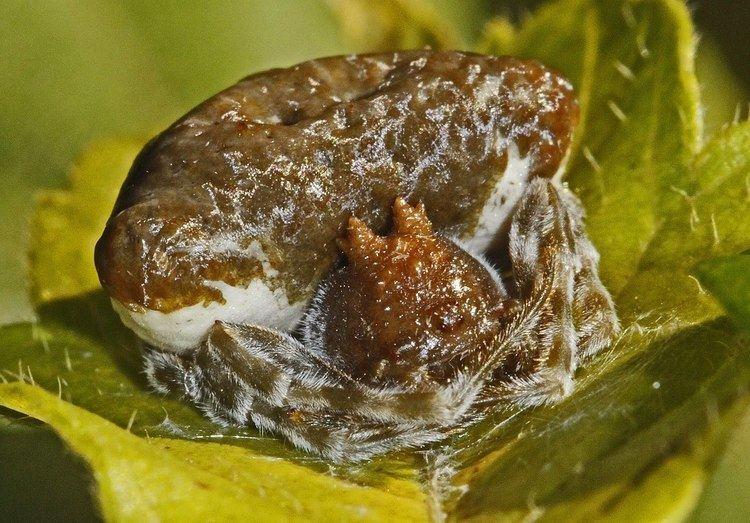 Mastophora (spider)