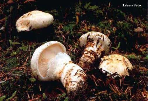 Matsutake The American Matsutake Tricholoma magnivelare MushroomExpertCom