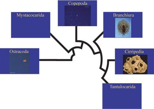 Maxillopoda Introduction to Maxillopoda