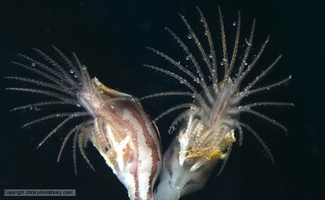 Maxillopoda BBC Nature Barnacles and copepods videos news and facts