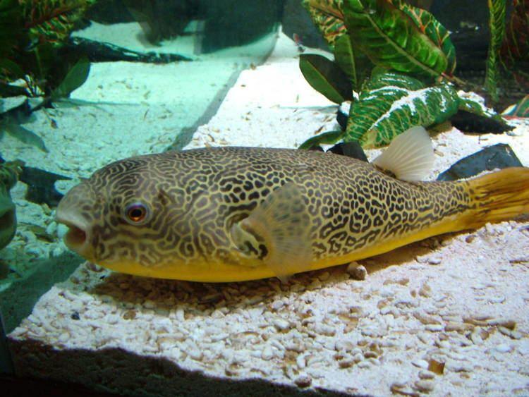 Mbu pufferfish Mbu Pufferfish at Brighton SeaLife Centre 130310 ZooChat