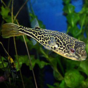 Mbu pufferfish wwwtropicalfishsitecomwpcontentuploads20130