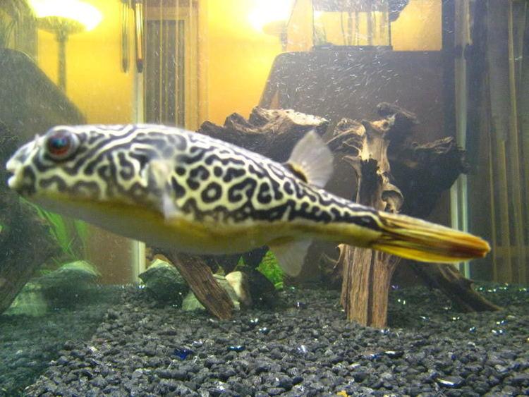 Mbu pufferfish Kaleeko the Mbu Puffer Fish MonsterFishKeeperscom