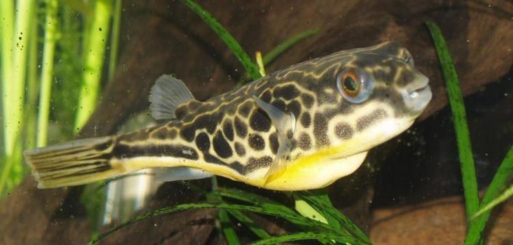 Mbu pufferfish Mbu pufferfish Wikipedia
