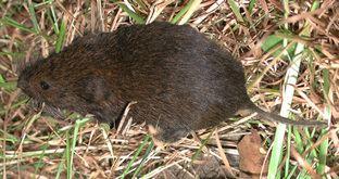 Meadow vole BioKIDS Kids39 Inquiry of Diverse Species Microtus pennsylvanicus