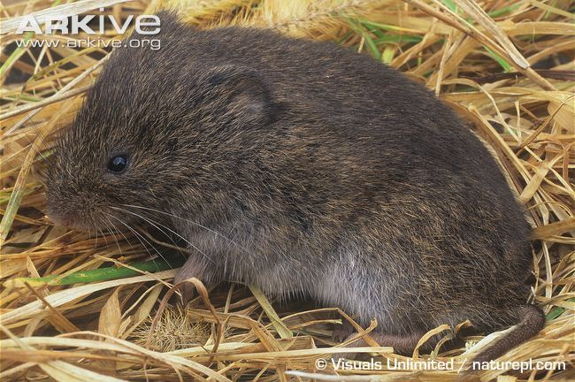 Meadow vole Meadow vole videos photos and facts Microtus pennsylvanicus ARKive