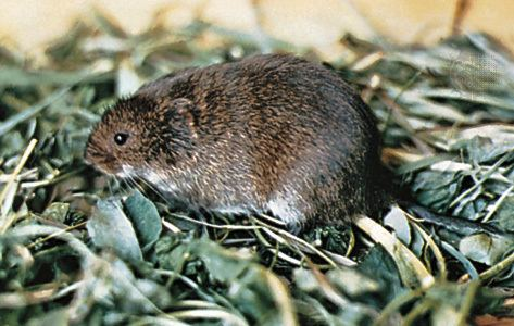 Meadow vole meadow vole rodent Britannicacom