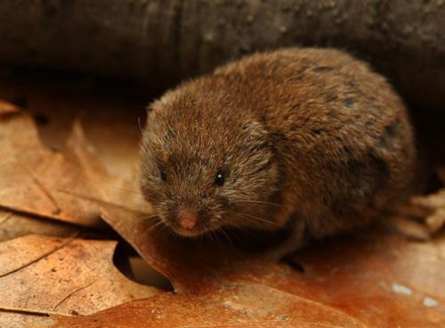 Meadow vole Meadow Vole and Woodland Vole