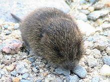 Meadow vole httpsuploadwikimediaorgwikipediacommonsthu