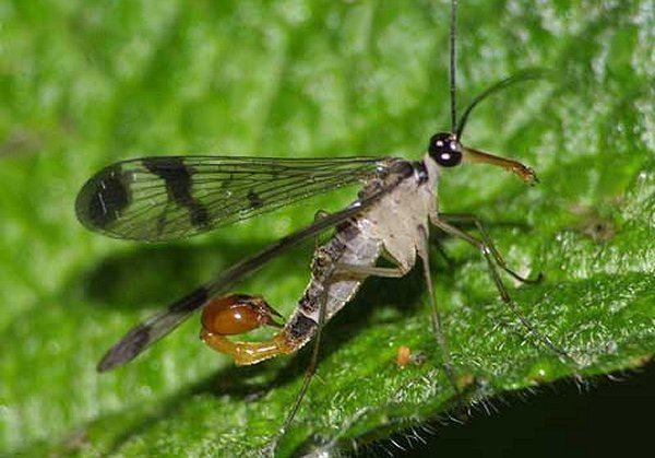 Mecoptera Order Mecoptera ENT 425 General Entomology