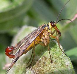 Mecoptera tolweborgtreeToLimagesPanorpavulgaris250ajpg