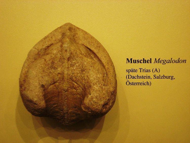 Megalodon (bivalve)