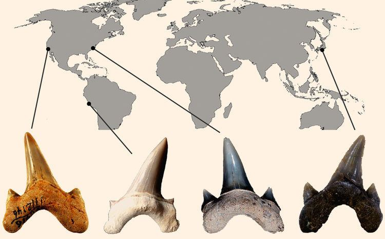 Megalolamna Megalolamna paradoxodon Paleontologists Uncover New Species of