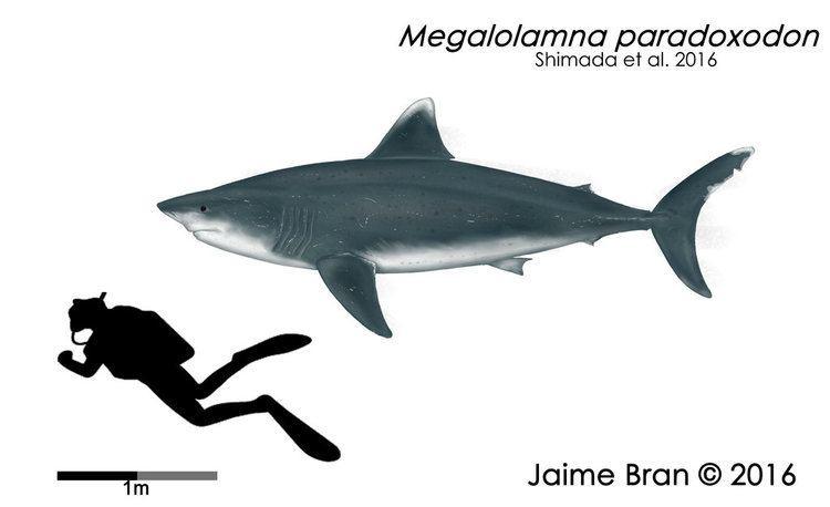Megalolamna Megalolamna paradoxodon by BranArtworks on DeviantArt