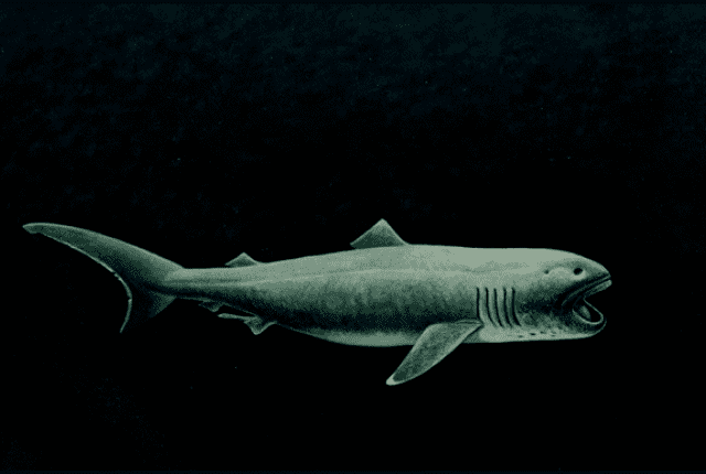 Megamouth shark 11 Facts About the Megamouth Shark Mental Floss