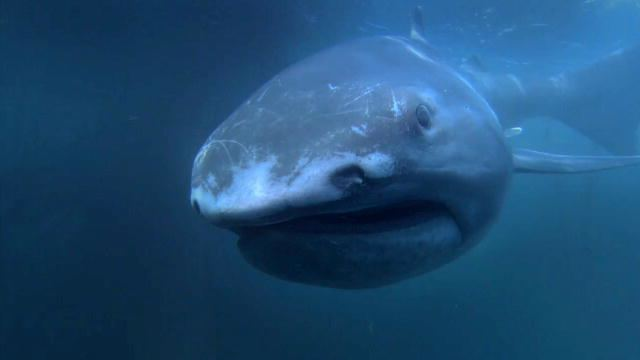 Megamouth shark Alien Sharks The Megamouth Shark Week Discovery