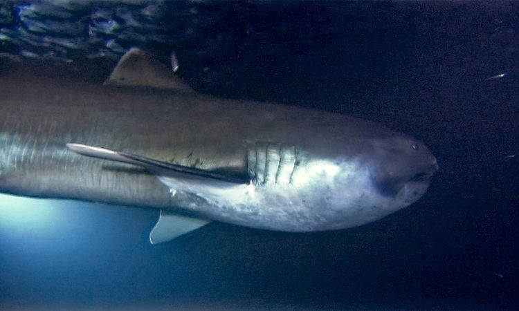 Megamouth shark Megamouth Shark Sharkopedia