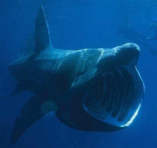 Megamouth shark Megamouth Shark Rare Bizarrelooking Filterfeeder Animal