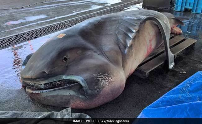 Megamouth shark Rare Megamouth Shark Caught in Japan is What Nightmares are Made of