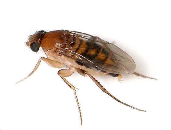 Megaselia scalaris Scuttle Fly Megaselia scalaris BugGuideNet