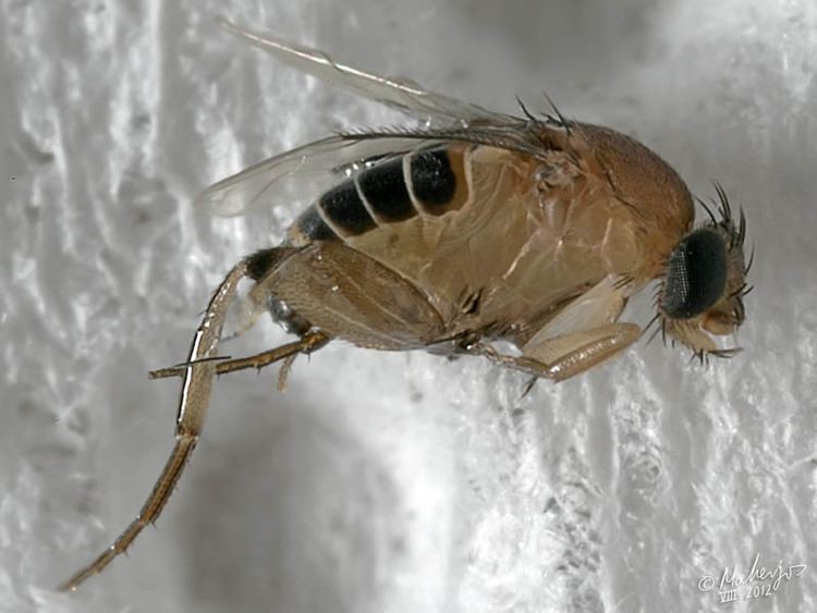 Megaselia scalaris Dipterainfo Discussion Forum Megaselia scalaris Confirmed